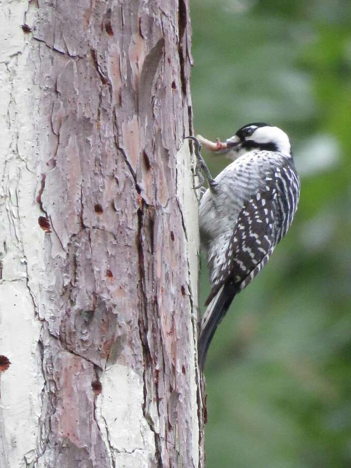 The Texas A& Forest Service announced it has received two pairs of unrelated Red-Cockaded Woodpeckers, which can now call Jones State Forest in Conroe home. Photo: Submitted Photos / Submitted Photos