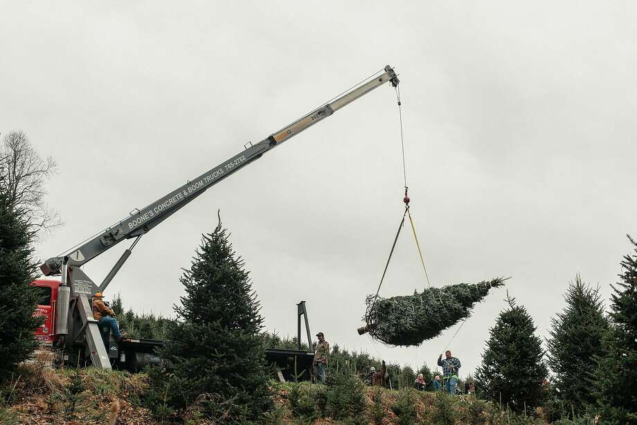 The White House Christmas tree is lifted into the air by a crane at Mountain Top Fraser Fir. Photo: Jacob Biba / New York Times