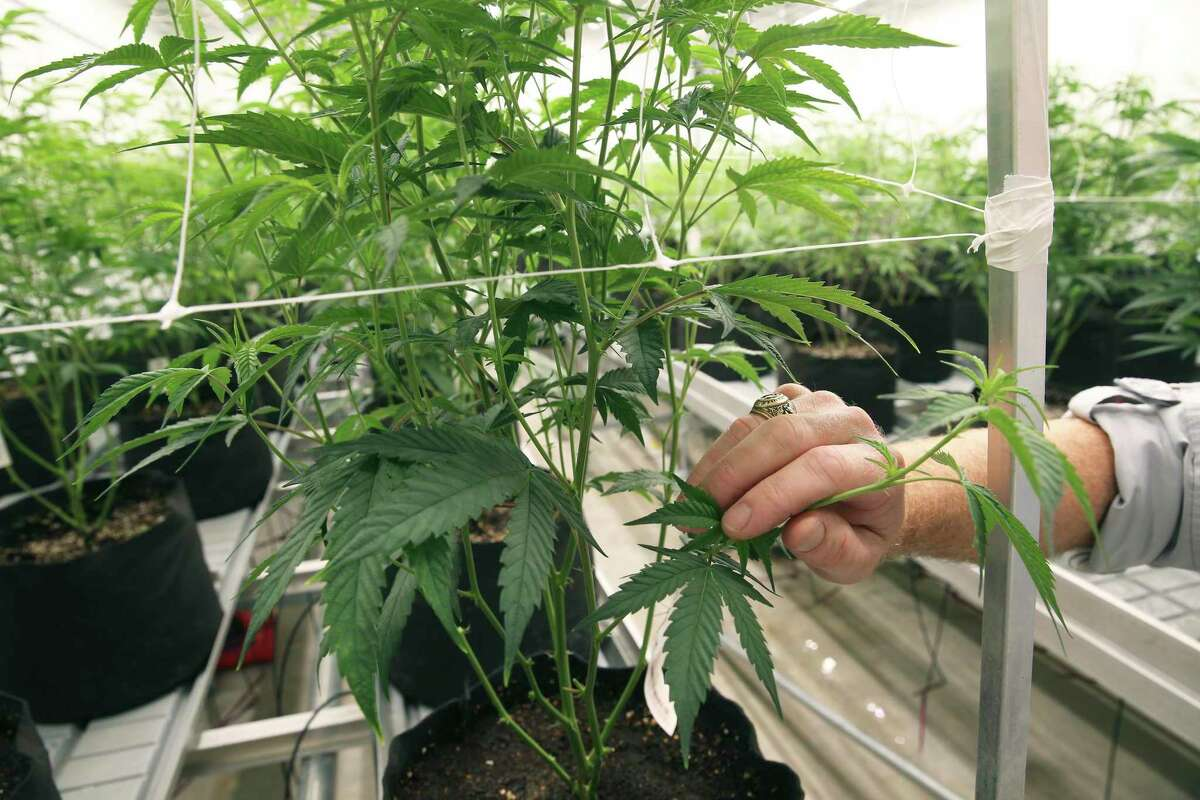 Taylor Kirk, VP of Operations, checks out some plants as employees work at Compassionate Cultivation on November 29, 2018.