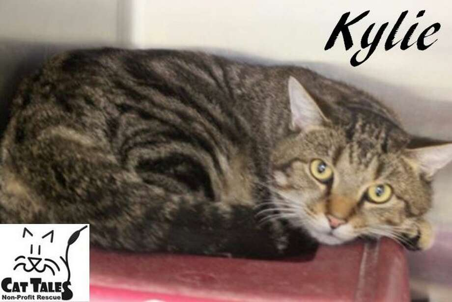 "Kylie is a 2-year-old male tabby. He says, ""I'm a very sweet boy who was found as a stray. I like to play, be petted, held and to curl up on the couch with you. You can adopt me now and take me home shortly, once I've had all my vet checkups. I'd love to spend the holiday and ""furever"" with a wonderful family."" Visit http://www.CatTalesCT.org/cats/Kylie, call 860-344-9043 or email info@CatTalesCT.org. Watch our TV commercial: https://youtu.be/Y1MECIS4mIc All new adoptions come with the 30 day gift of medical insurance provided by Trupanion® - Medical Insurance for your Pet. Some exclusions apply. Photo: Contributed Photo"