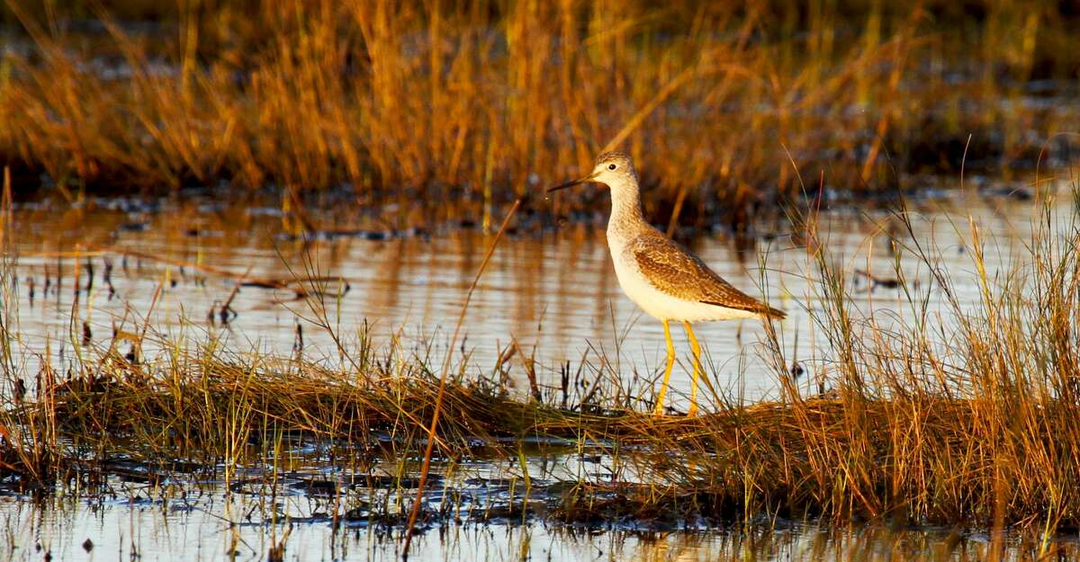 Once a popular target of market hunters, shorebirds such as this greater yellowlegs have been protected for almost a century. Shorebirds continue to be a common and welcomed piece of the mosaic of avian life in Texas' coastal wetlands.