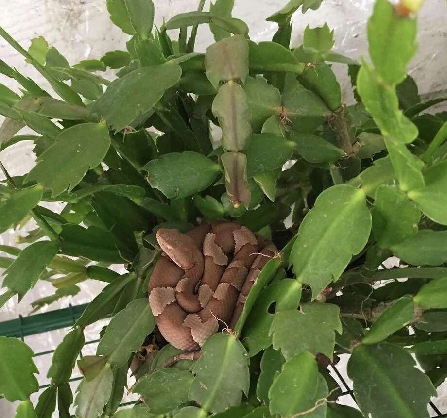 A family in Adkins, just east of San Antonio proper, found a venomous copperhead snake in their Christmas cactus on their screened-in porch. Photo: Courtesy Of Ronnie Ibrom