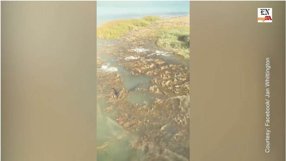 Aerial footage show several large alligators flanking an island in the Laguna Madre area.