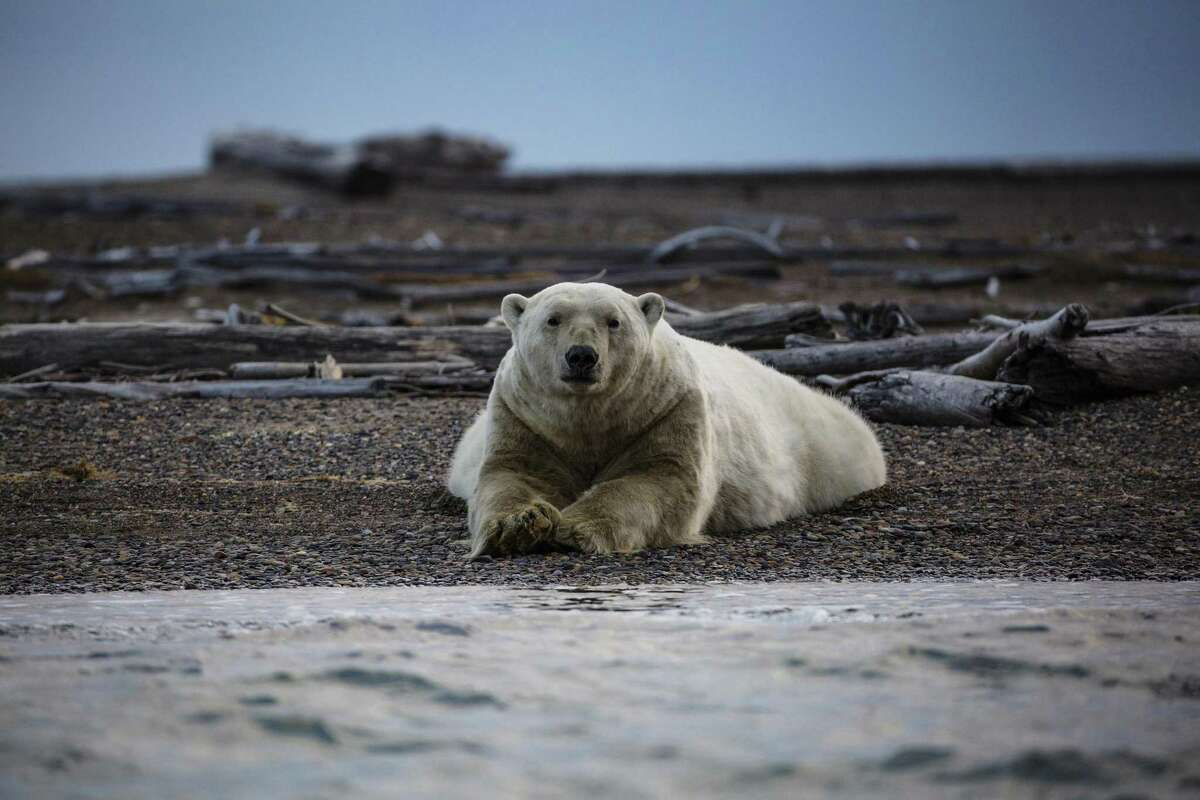 Polar Bears in Kaktovik, Alaska, Sept. 11, 2016. The Trump administration is reversing a longstanding ban on oil exploration on the coastal plain of the Arctic National Wildlife Refuge. The area is home to about 900 polar bears, which are already struggling because of climate change.