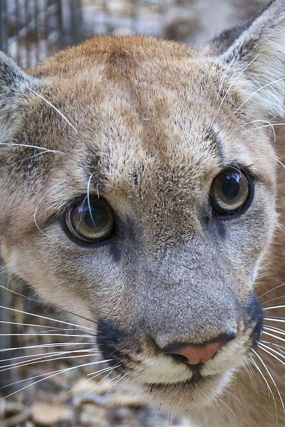 A photo provided by the National Park Service of P-74, the newest member of a group of mountain lions that park rangers in Southern California have tracked with GPS collars. (National Park Service via The New York Times)