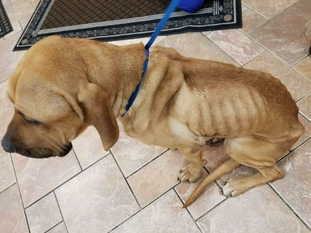 City police on Dec. 4 2018 were attempting to find the owner of an emaciated mastiff-hound mix who was found by midnight patrols in Frear Park, Deputy Police Chief Dan DeWolf said Tuesday. Police named the malnourished canine