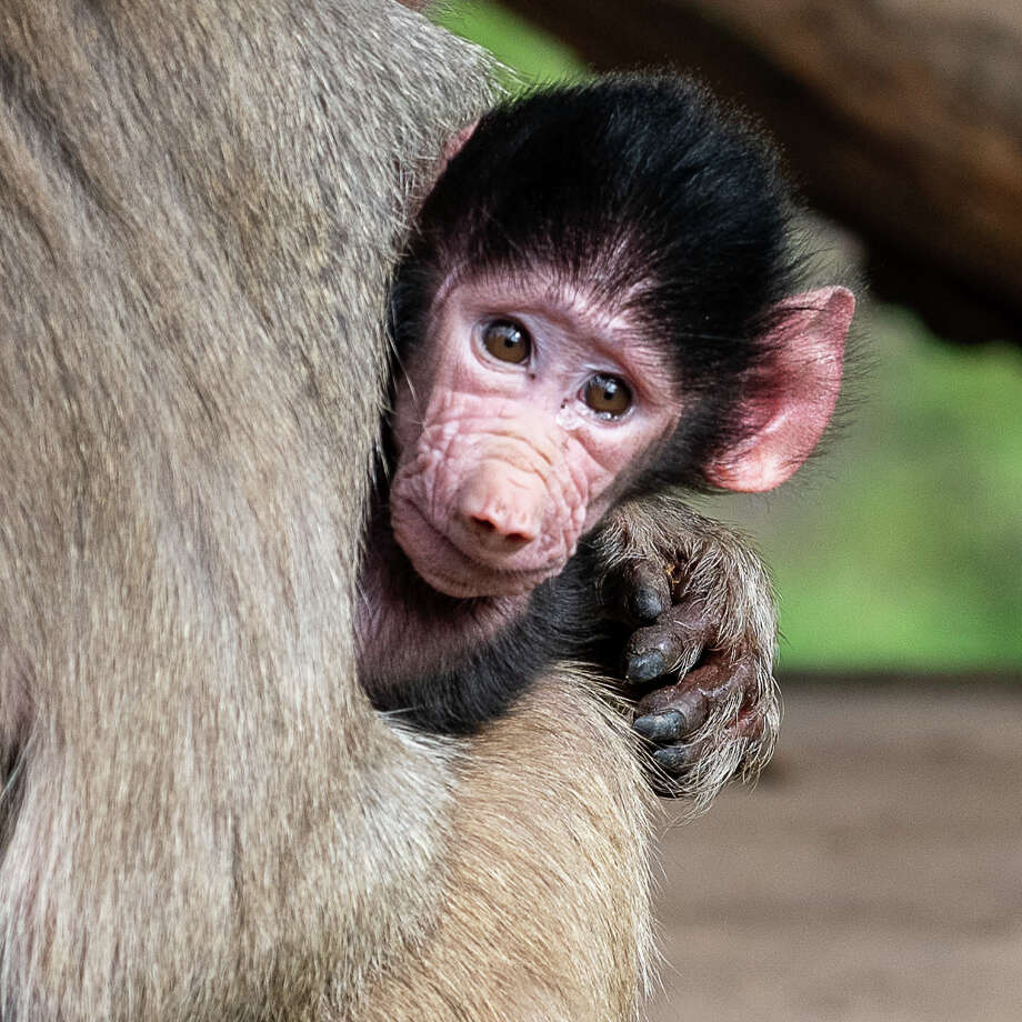 A baby baboon, named Mousa, was born at the Oakland Zoo in November to a mother named Mocha. Photo: Steven L Gotz / 2018