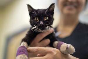 A kitten who survived the Camp Fire in Butte County is photographed at the VCA Valley Oak Center in Chico, CA on November 21, 2018 where he is receiving treatment by UC Davis veterinarian Jamie Peyton for burns on his paws.