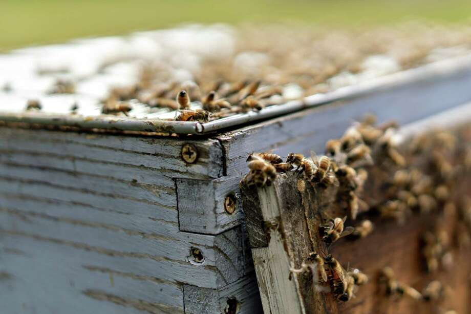 Buckfast honeybees gather on September 10, 2018 in Merango, Illinois, in a hive. Photo: Bloomberg Photo by Daniel Acker. © 2018 Bloomberg Finance LP