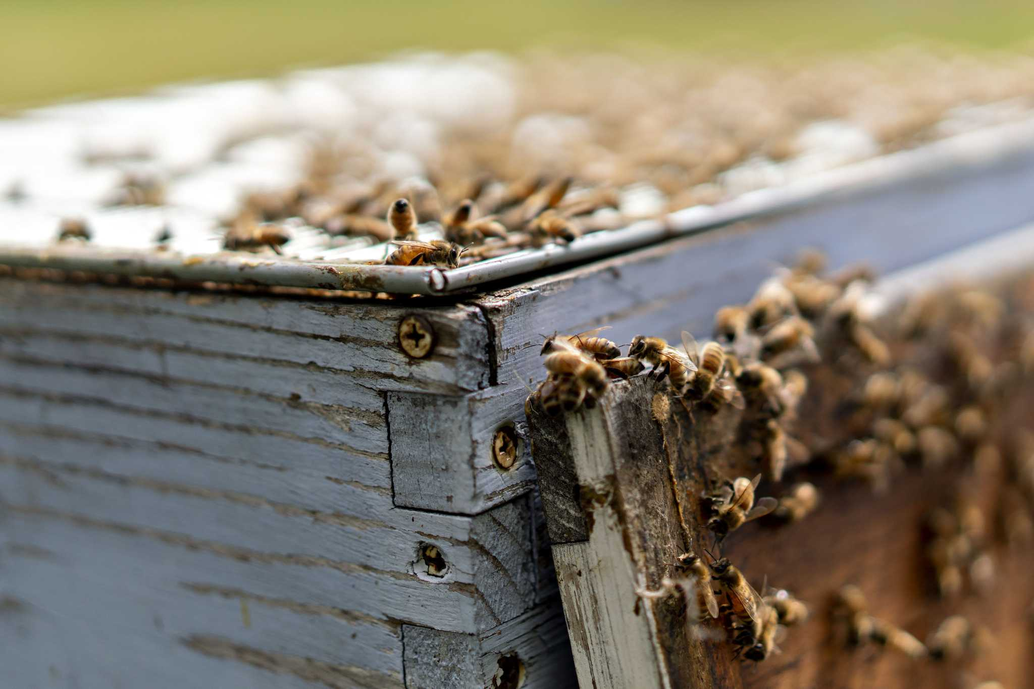 World's first honey bee vaccine seeks to save dying pollinators