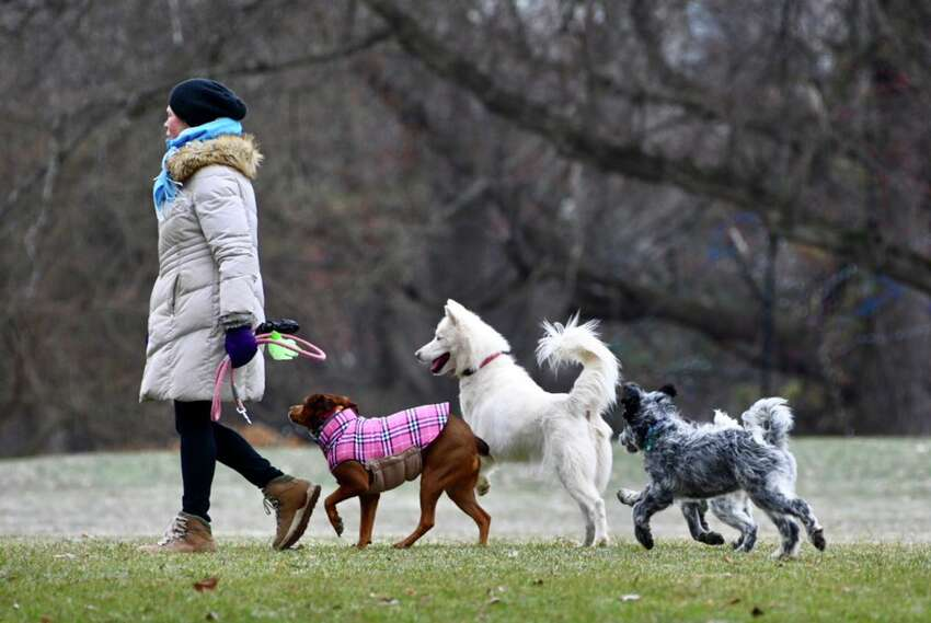 Dogs enjoy a group romp in Washington Park in Albany, NY, on Thursday, Dec. 6, 2018. (Skip Dickstein/Times Union)