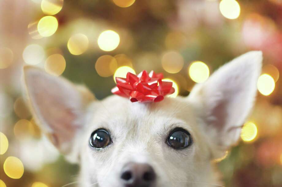 Increasingly, pets are becoming part of the family and that means Americans are spending more on them for Christmas. Photo: Hillary Kladke /Getty Images / Moment RF