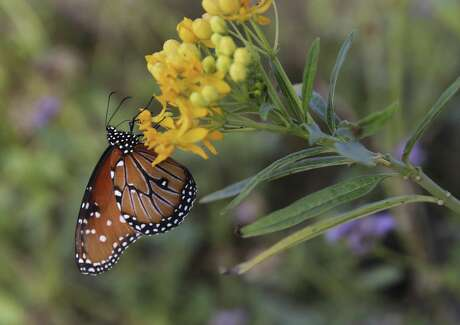 A queen butterfly takes nectar from a tropical milkweed