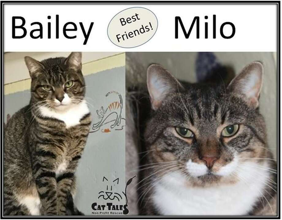 "Bailey, a girl, and Milo, a boy, a pair of brown tabbies, are best friends who were rescued off the streets in Middletown. They are bonded and must be adopted together. Milo loves his belly rubbed more than Bailey does, since she's a bit more shy. ""We dream of being on a sunny catio, where we can lay next to each other and soak up the warm rays,"" Bailey says. Milo is FIV+ but it's very difficult for other cats to catch it.  Milo has helped Bailey come out of her shell at Cat Tales and wants to stay with her. Come visit this sweet pair. Learn more at http://www.CatTalesCT.org/cats/Bailey, call 860-344-9043 or email info@CatTalesCT.org. See their TV commercial: https://youtu.be/Y1MECIS4mIc Photo: Contributed Photo"
