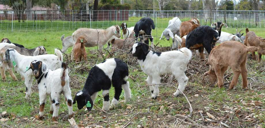 Sixty pregnant goats were stolen from Morgan Hill and the owner is hoping to get them back. Photo: DANIEL J. ALLEN