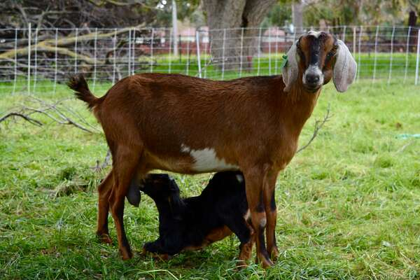 658b221131f 2of4Sixty pregnant goats were stolen from Morgan Hill and the owner is  hoping to get them back.Photo  DANIEL J. ALLEN
