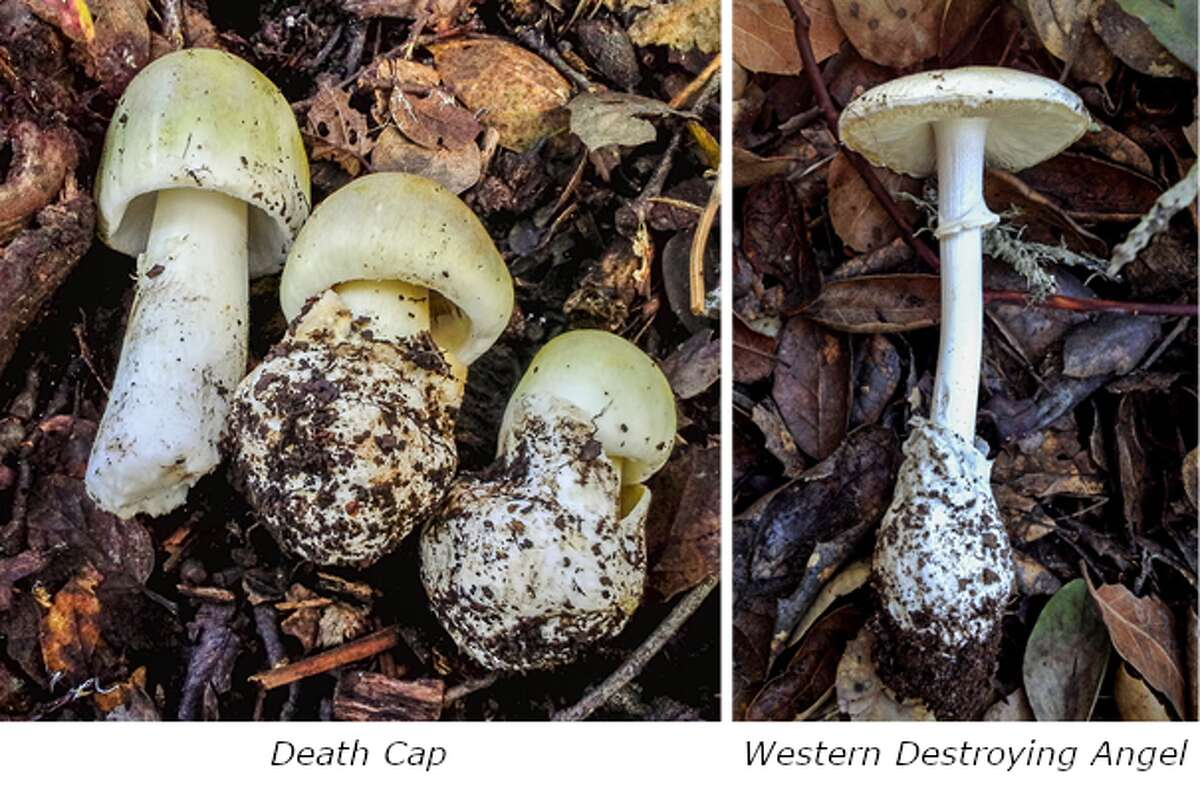 The East Bay Regional Parks District released its annual warning about deadly Death Cap and Western Destroying Angel mushrooms, which are currently sprouting around the Bay Area.