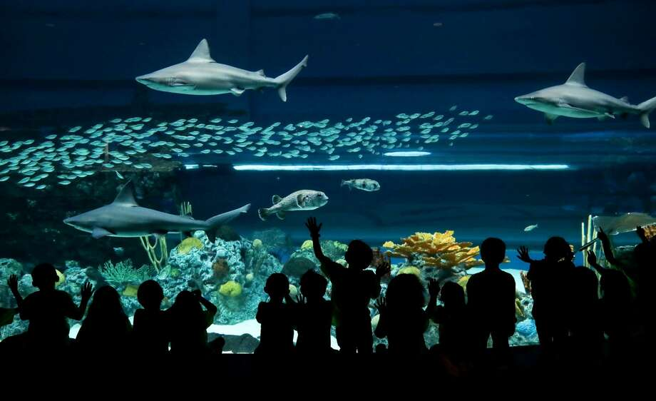 A group of first-graders from J.F.K. Elementary, in West Oso, watch as sharks, rays and fish swim at the Texas State Aquarium, Wednesday, May 2, 2018, in Corpus Christi. A teacher said that a fundraiser helped cover the costs of the field trip. Photo: Jon Shapley/Staff Photographer