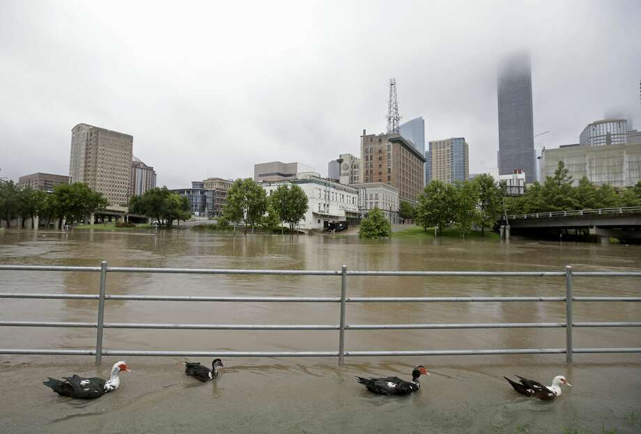 2018: 6.00 inches July 4 Pictured: Ducks swim along Buffalo Bayou in a flooded area near The University of Houston Downtown between Main St. and Travis St. Wednesday, July 4, 2018, in Houston. Photo: Melissa Phillip/Staff Photographer