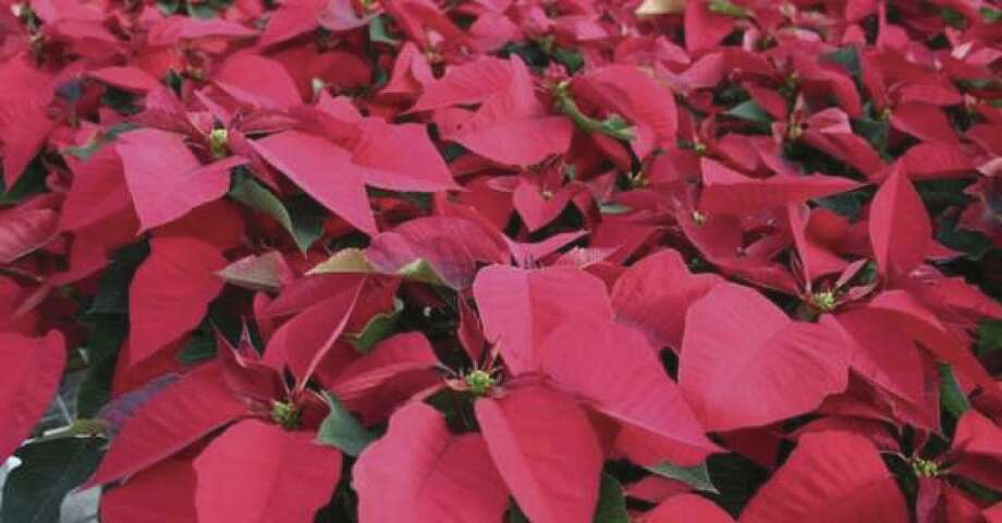 The photo above shows poinsettias in production.