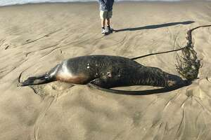 A sea lion with multiple gunshot wounds was recently found on a Point Reyes beach, officials said.