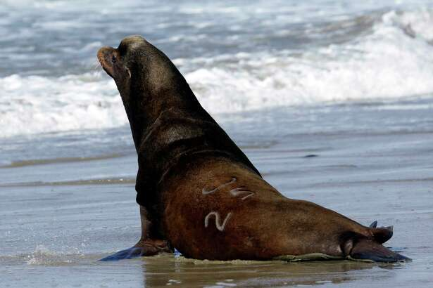 FILE - In this March 14, 2018 file photo, a California sea lion designated #U253 heads towards the Pacific Ocean after being released in Newport, Ore. A bill making it easier to kill sea lions that feast on imperiled salmon in the Columbia River has cleared the U.S. Senate. The measure would allow a more streamlined process for Washington, Idaho, Oregon and several Pacific Northwest tribes to capture and euthanize sea lions. The bill sponsored by Idaho Sen. Jim Risch and Washington Sen. Maria Cantwell cleared the Senate Thursday, Dec. 6. It's similar to legislation that the U.S. House passed in June.