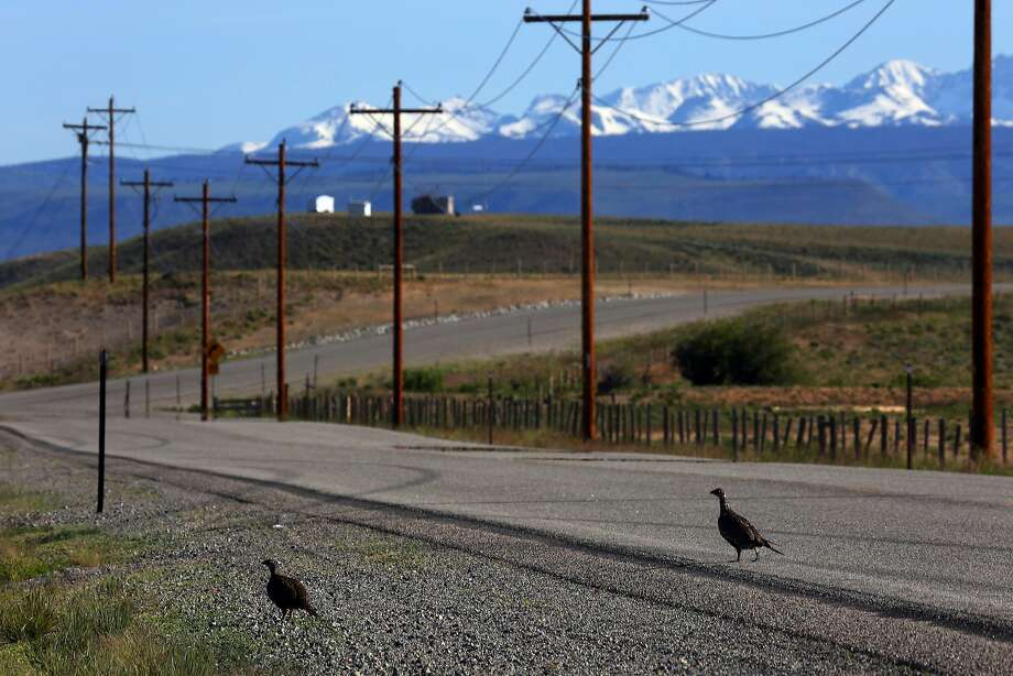 President Trump wants to ease rules protecting sage grouse, seen here in Wyoming. The rules hinder oil and gas drilling. Photo: Jim Wilson / New York Times 2014