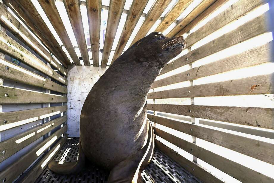 FILE - In this March 14, 2018 file photo, a California sea lion that was trapped at Willamette Falls in the lower Willamette River waits to be released into the Pacific Ocean near Newport, Ore. A bill making it easier to kill sea lions that feast on imperiled salmon in the Columbia River has cleared the U.S. Senate. The measure would allow a more streamlined process for Washington, Idaho, Oregon and several Pacific Northwest tribes to capture and euthanize sea lions. The bill sponsored by Idaho Sen. Jim Risch and Washington Sen. Maria Cantwell cleared the Senate Thursday, Dec. 6. It's similar to legislation that the U.S. House passed in June. (AP Photo/Don Ryan, File) Photo: Don Ryan, Associated Press
