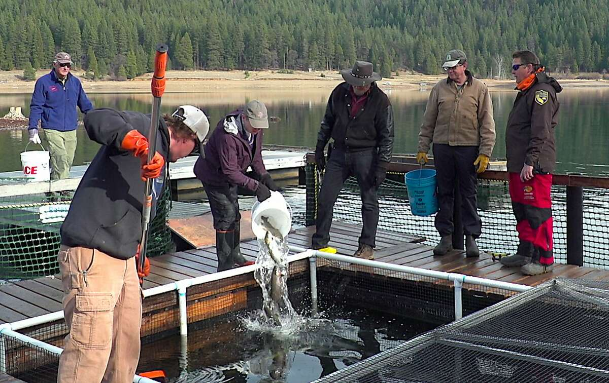 A volunteer pours a bucket of trout into a trout pen at Lake Siskiyou, where they will be fed over winter and grown to large sizes for release next May