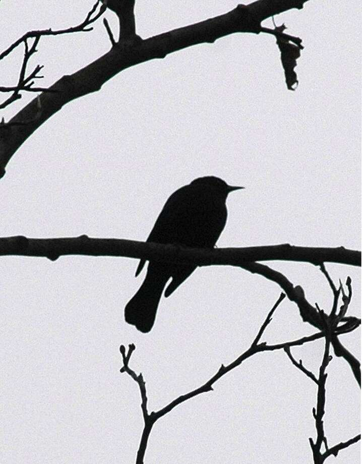 A rusty blackbird is counted while resting in a tree on Audubon property off Riversville Road in Greenwich in 2004. Photo: Hearst Connecticut Media File Photo