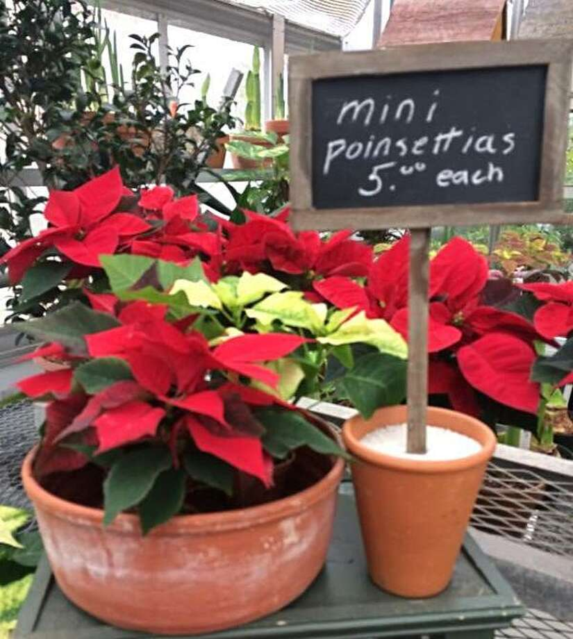 Greenwich Botanical Center offers holiday blooms for sale this holiday season. Photo: Contributed