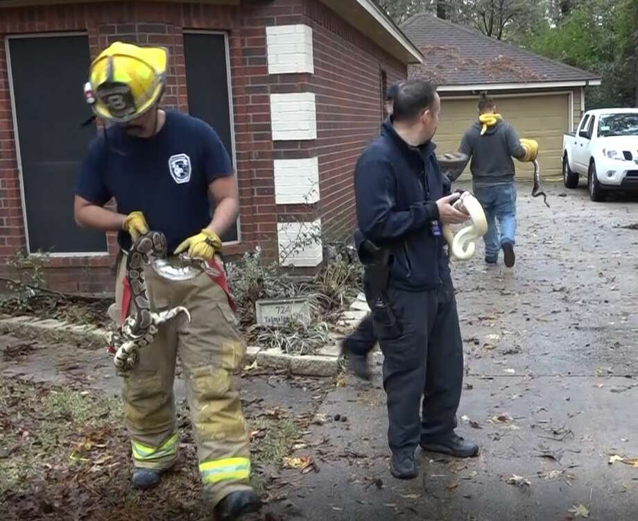 Flannelly said all of the snakes were saved by firefighters, but a few lizards were lost in the fire due to the high volume of smoke. Photo: Courtesy Scott Engle/Montgomery County Police Reporter