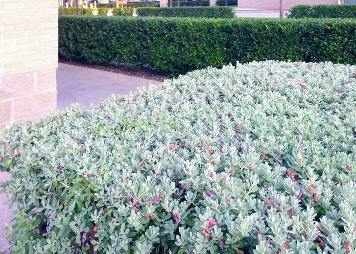 These shrubs in a commercial space thinned out due to over pruning.
