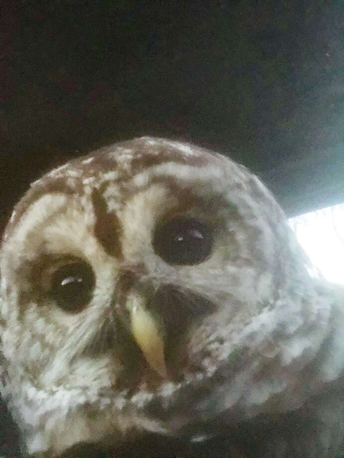 Chance Hazelnis, 32, was returning from an overnight shift at Global Foundries in Malta, heading south on Fonda Road in Waterford when he nearly hit what looked like a wounded barred owl. He stopped and rescued the bird who is in the care of a specialist with the state DEC. Photo: Chance Hazelnis