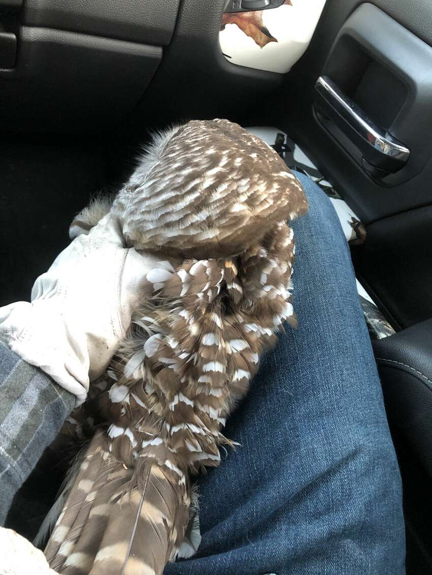 Chance Hazelnis, 32, was returning from an overnight shift at Global Foundries in Malta, heading south on Fonda Road in Waterford when he nearly hit what looked like a wounded barred owl. He stopped and rescued the bird who is in the care of a specialist with the state DEC.