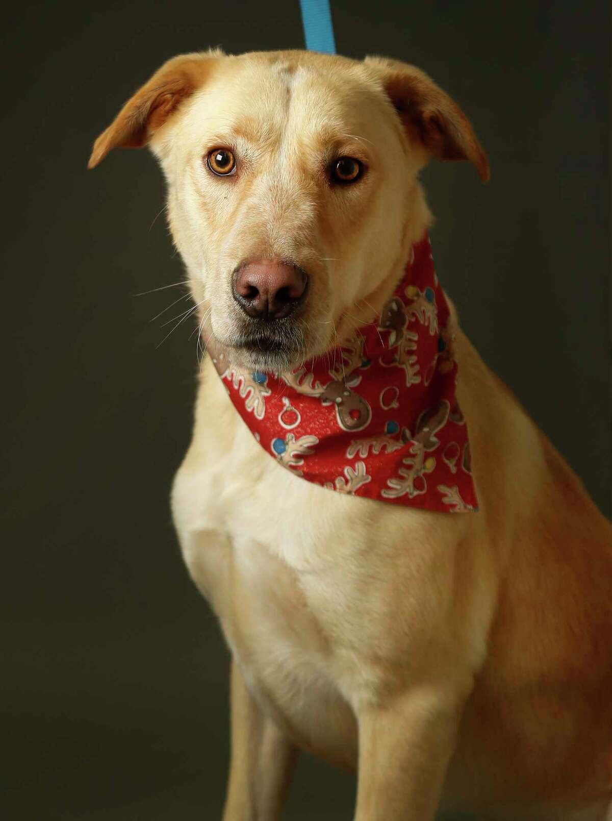 BRUCE (Animal ID: 39259089) Bruce is a 2-year-old, male, Labrador Mix and is ready to be adopted from the Houston Humane Society. Photographed Tuesday, Dec. 11, 2018, in Houston.