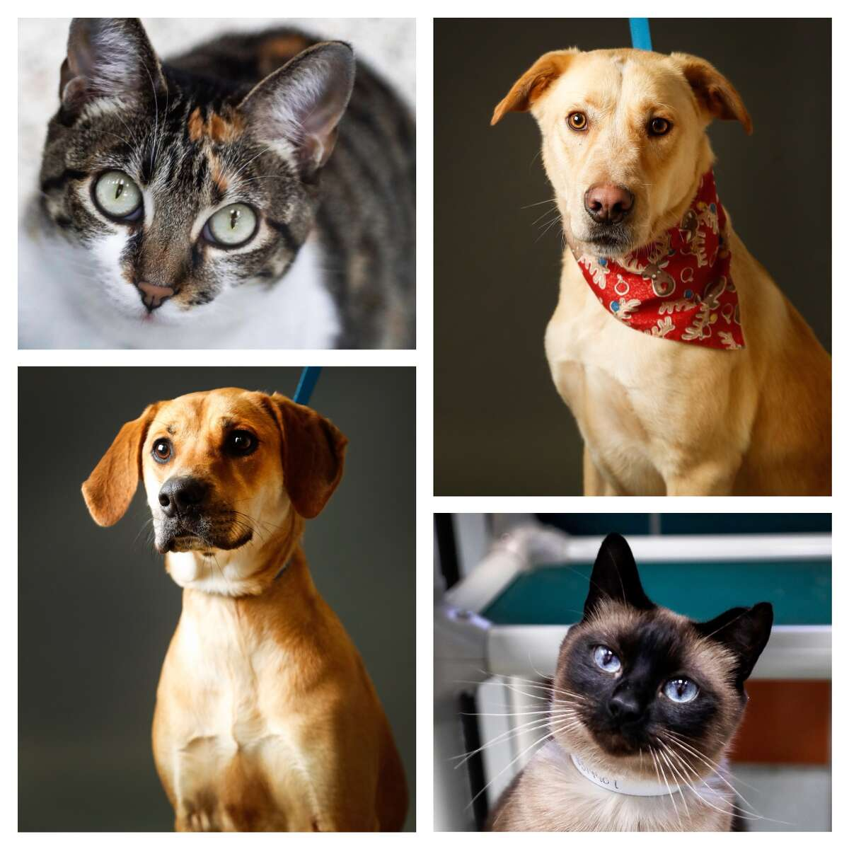 Animals ready to be adopted from the Houston Humane Society. Photographed Tuesday, Dec. 11, 2018, in Houston.