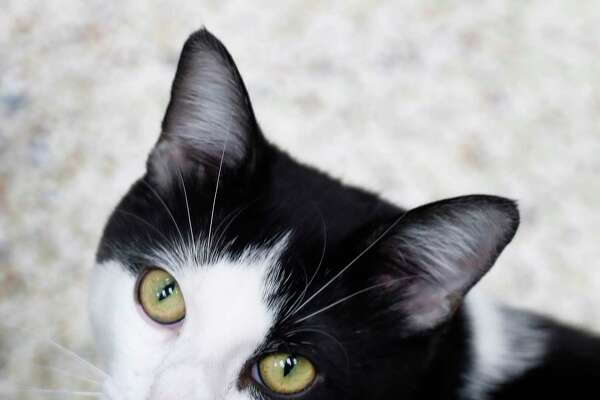 GABRIEL (Animal ID: 40299043) Gabriel is a 2-year-old, male DSH cat and is ready to be adopted from the Houston Humane Society. Photographed Tuesday, Dec. 11, 2018, in Houston.