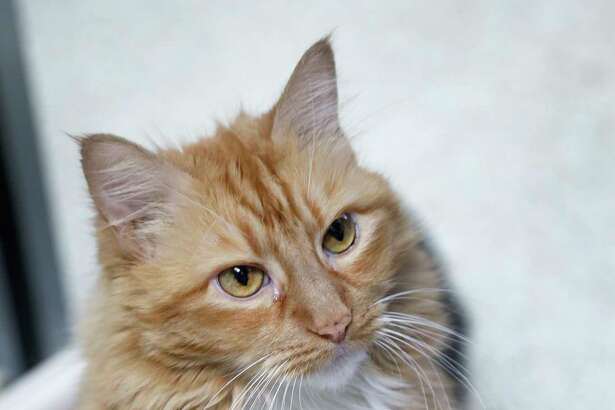 RAQUEL (Animal ID: 36519787) Raquel is a 9-year-old, female, Orange tabby DLH cat and has been at the shelter since April. Her adoption fees have been waived from Dec 1-21. She is ready to be adopted from the Houston Humane Society. Photographed Tuesday, Dec. 11, 2018, in Houston.