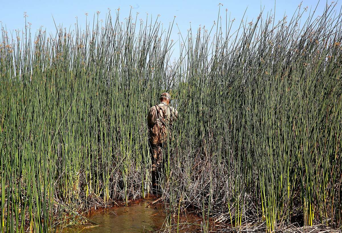 Greg Gerstenberg, senior biologist with the California Department of Fish and Wildlife, searches the habitat for the large rodent, Nutria at the China Island state wildlife area near Gustine, Ca. on Wed. May 2, 2018. Gerstenberg is the operations chief of the Nutria eradication program. The Nutria is a threat to agriculture, water infrastructure and wetlands according the the California Department of Fish and Wildlife.