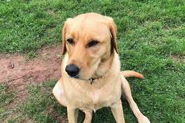 Reese, a 65-pound golden Labrador that belongs to the Townsend family, was reported missing Nov. 26.