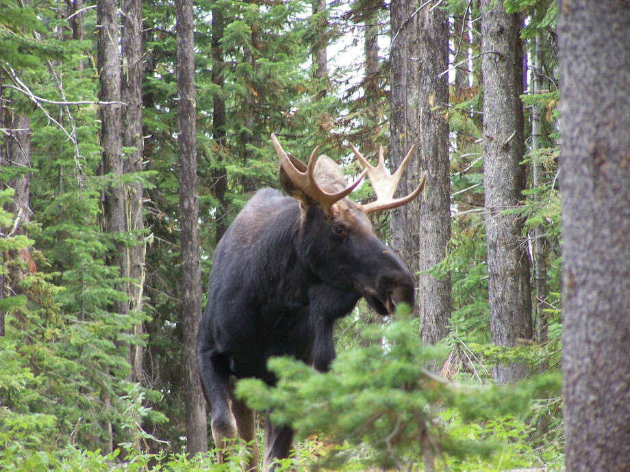 A bull moose pictured in Wallowa County, Oregon. Photo: Oregon State Police