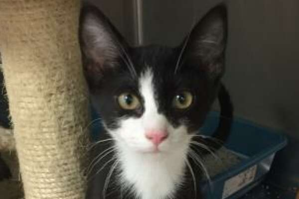 Bandit is a 2-year-old male domestic shorthair mix.