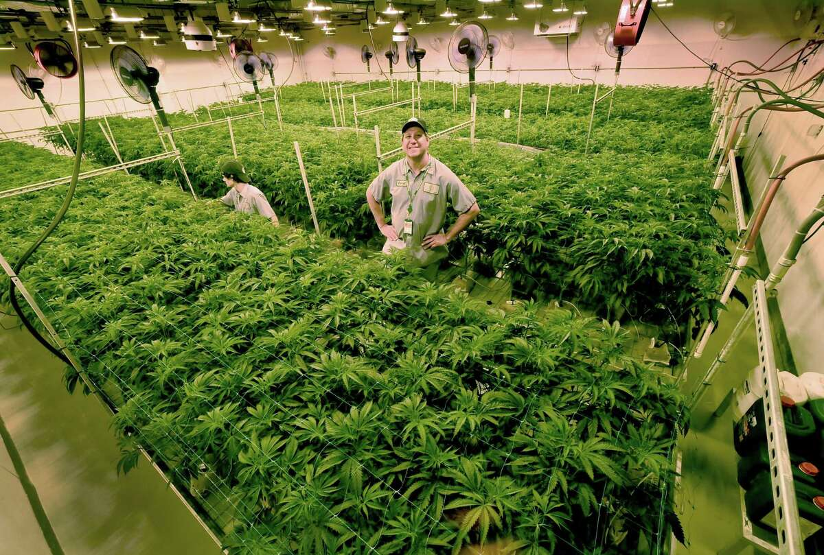 West Haven, Connecticut - June 1, 2018: With many new medical marijuana patients in Connecticut and seven or more new medical conditions about to be approved, is there enough supply of medical marijuana to meet demand?Advanced Grow Labs CEO David Lipton, right, stands high in a Flower Room that was modified to grow more marijuana plants by using rolling bench tables to better utilize the square footage of the room. Tyler McKinley, an AGL production team member, left, opens up the canopy of the cannabis plant so light my penetrate the lower flowering sights of the plant. Expansion of space at Advanced Grow Labs of West Haven, one of four marijuana growers in Connecticut that supply medical marijuana, is important to meet the supply and demand of the product.