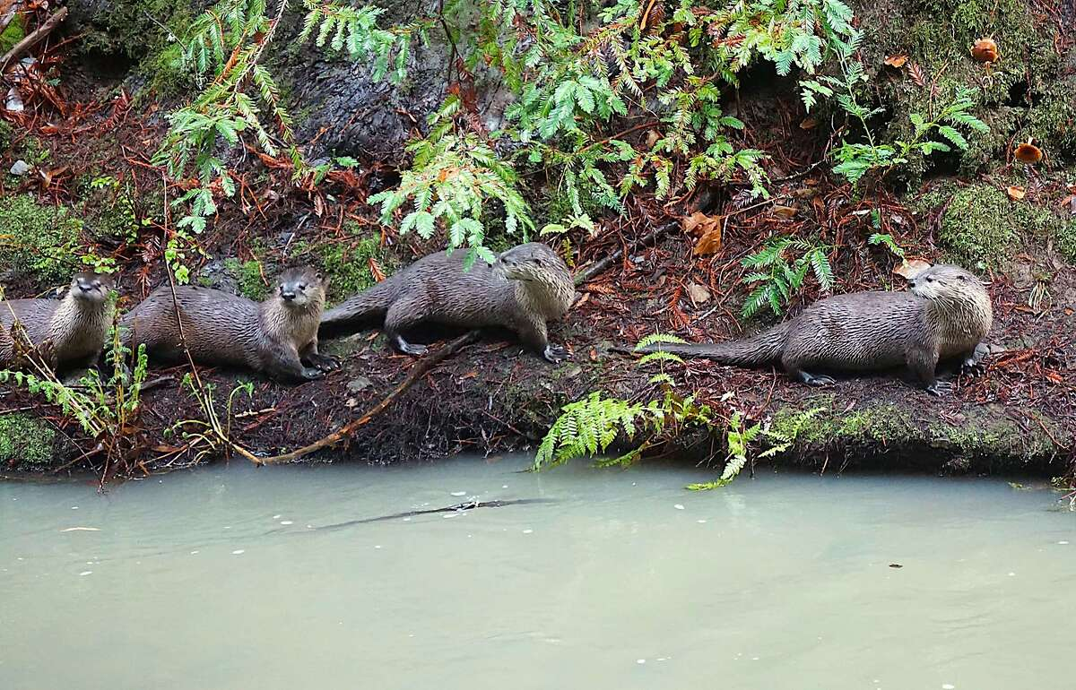 A family of river otters chase adult salmon as they are spawning on the banks of Lagunitas Creek.