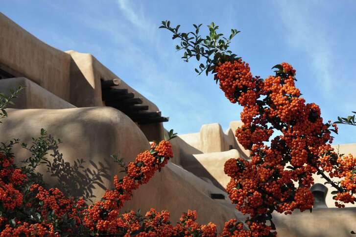 Pyracantha growing against an adobe wall
