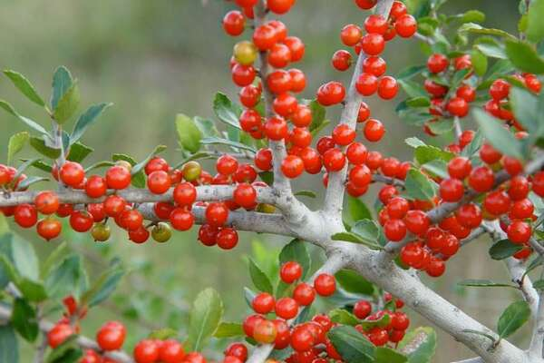 Plants For Showy Winter Berries In San Antonio Gardens