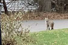 This bobcat was spotted on Thursday morning on Peaceful Lane in the Wolfpit area of Norwalk, close to the Westport town line.
