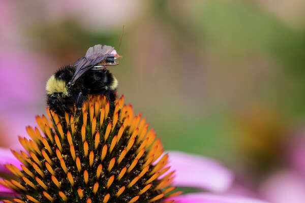 Computer scientists and engineers at the University of Washington have created a sensor package that is small enough to ride aboard a bumblebee. Credit: Mark Stone/University of Washington