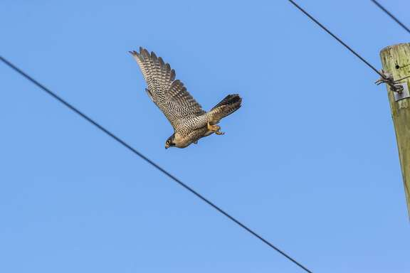 A peregrine falcon can reach a cruising speed of 60 mph. During an aerial assault on a pigeon or duck, it can reach 240 mph.